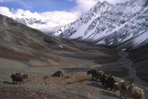 Yaks on the Kang La